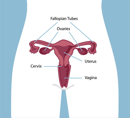 WomanReproductive