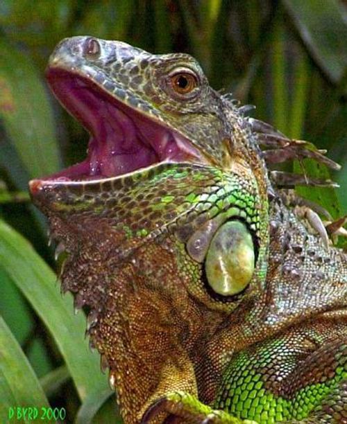 Iguana_cincinnati_zoo_d_byrd